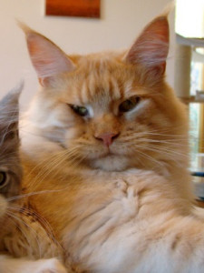 cream smoke Maine Coon Kater Toffee
